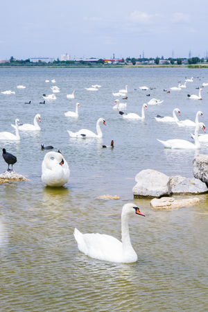 Swan lake with white and black swans and other birds Stock Photo