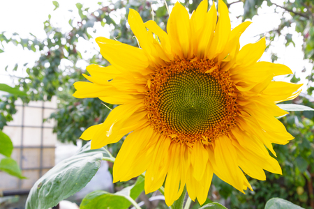 Bright beautiful flower of a sunflower Matures in the summer