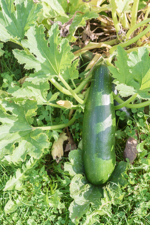 Green large zucchini lies on the garden Matures in the summer Stock Photo
