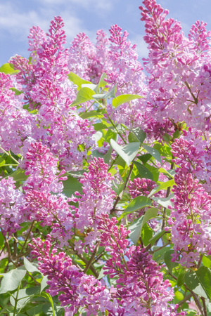 Beautiful lilacs blooming in the spring in clear weather