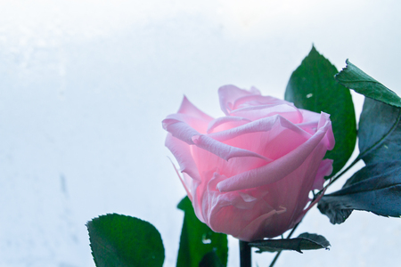 Beautiful pink rose on the background of frozen window