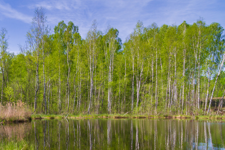 White thin birch trees grow along the forest lake in spring Stok Fotoğraf