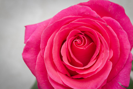 Beautiful lush fresh pink rose stands in a vase at home