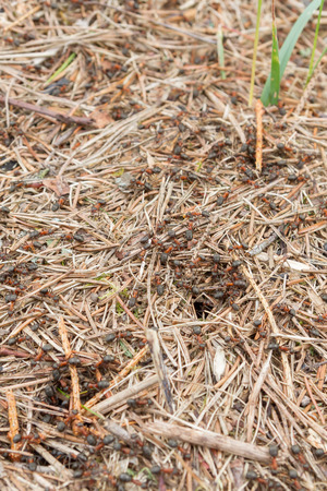 Anthill with lots of red-black ants in the forest
