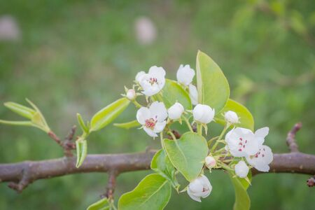 Flowering white pear tree flowers in late spring