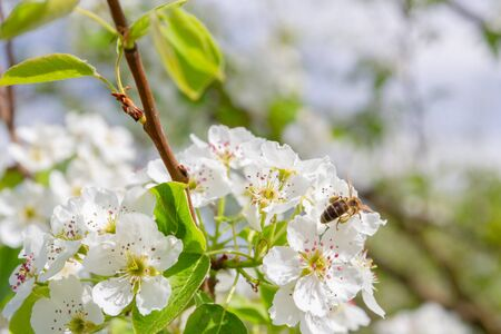 Bee collects nectar from white flowers of pear tree in late spring