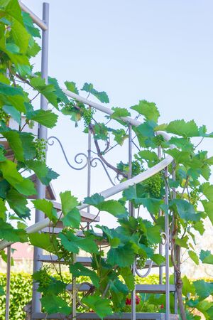 Home grapes growing on a spiral staircase in the summer Фото со стока - 129219322