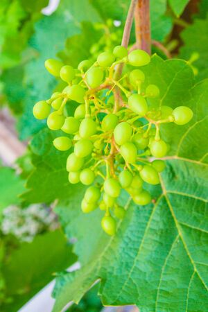 Home grapes growing on a spiral staircase in the summer Фото со стока - 129212075