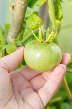 Woman's hand holding a green tomato on a branch in the greenhouse