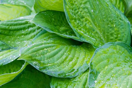 Raindrops and dew on the green leaves of the plant 스톡 콘텐츠