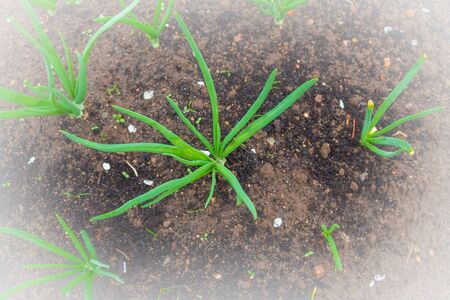 Green onions grow in the garden beds in early spring Stock Photo