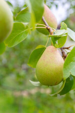 Pear hanging on a tree and Matures in late summer