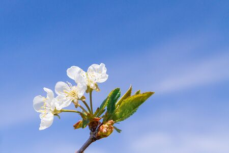 Blooming white pear tree flowers in late spring against the blue sky
