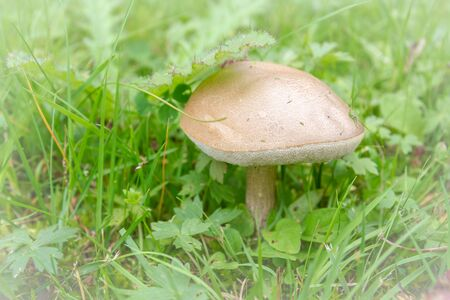 Mushroom boletus growing in the grass in the summer Banco de Imagens
