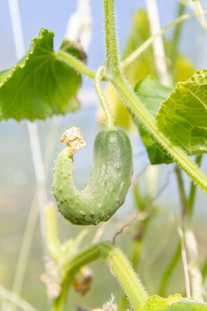 Mature cucumbers in the greenhouse hanging on a branch