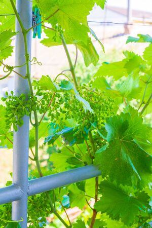 Home grapes growing on a spiral staircase in the summer Banco de Imagens