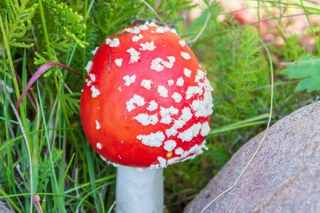 Red bright mushroom fly agaric with white spots near the stones
