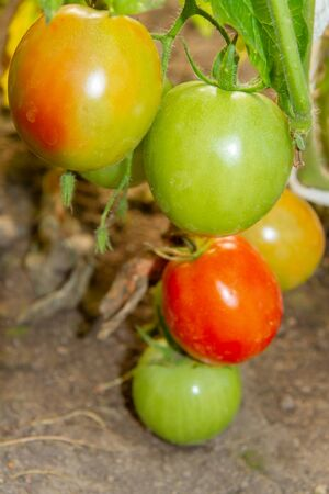 Colorful tomatoes hang on a branch and ripens in a greenhouse