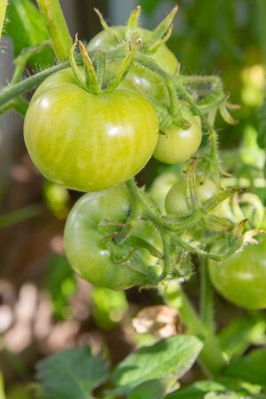 Green tomatoes hanging on a branch ripen in a greenhouse