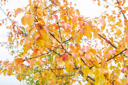 Autumn tree with yellow leaves in cloudy weather