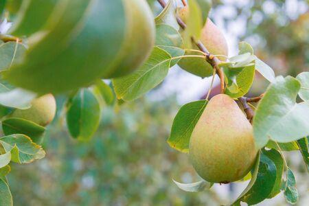 Birne hängt am Baum und reift im Spätsommer
