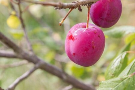 A ripe plum hangs on a tree in early autumn
