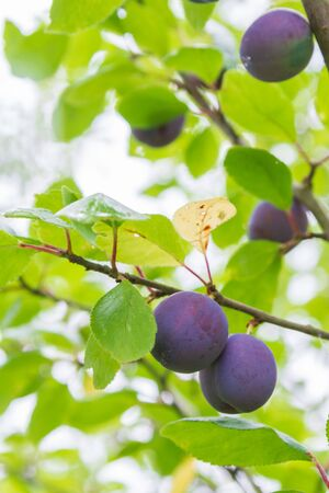 Ripe plum ripens on a tree branch in summer Stock Photo - 131734542