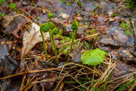 Fern begins to grow in the forest in early spring