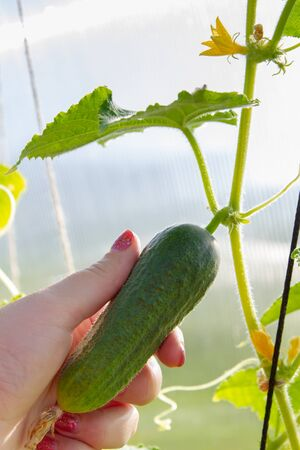 Womans hand removes a cucumber from a branch in the greenhouse