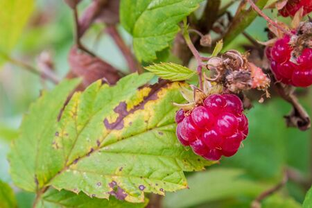 Ripe red raspberries ripen on the Bush in summer Фото со стока