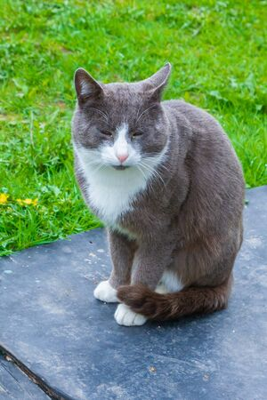 Gray with white domestic cat sits on the street Early spring