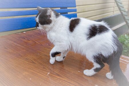 Black-white domestic cat walks on the street in early spring Reklamní fotografie
