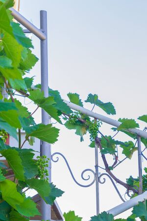 Home grapes growing on a spiral staircase in the summer Фото со стока
