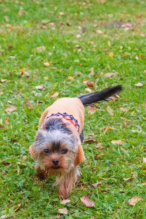 Yorkshire Terrier in dog clothes running around the yard in autumn Фото со стока
