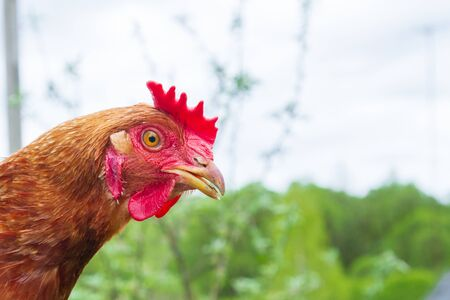 Portrait of a domestic chicken in the yard in the summer