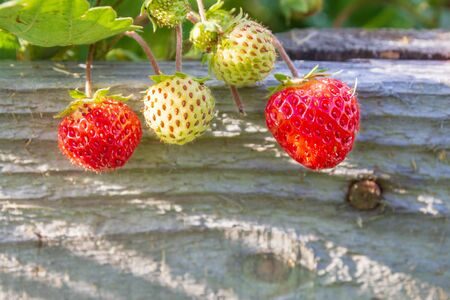 Red ripe strawberries grow in the garden in the summer