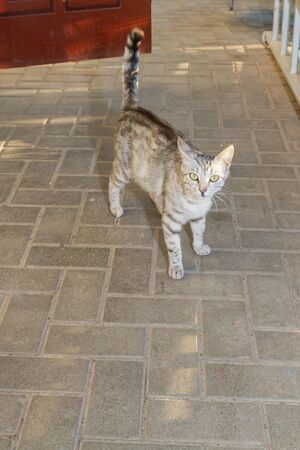 Gray striped cat walks in the yard at the house in the summer Фото со стока