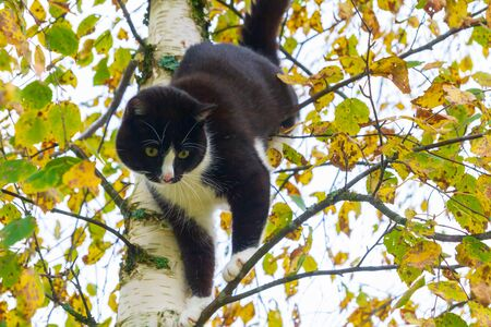 Black and white cat sitting on a birch tree in autumn