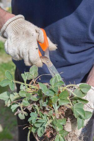 An elderly man transplants strawberries in the garden in the spring
