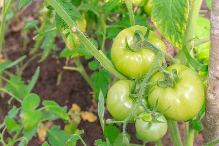 Green tomatoes hang in a bunch and ripen in a greenhouse