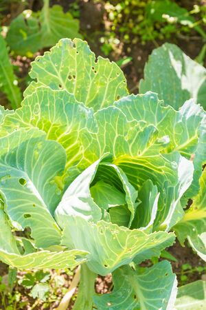 White cabbage grows on beds in the garden in the summer