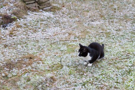 Home black and white cat walks in the yard in winter