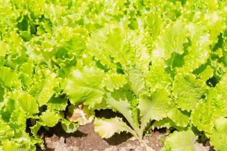 Lettuce leaves grow on beds in the garden in the summer 版權商用圖片