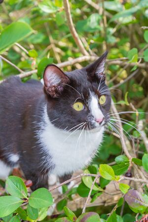 Black-and-white domestic cat in a berry Bush of chokeberry in the summer