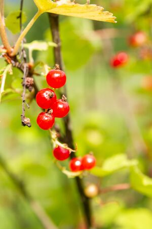 Red currant berries hang on a Bush in summer