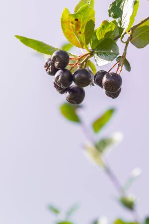 Chokeberry grows on a Bush in late summer
