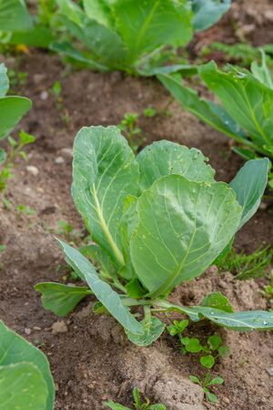Early cabbage grows on beds in the summer in the garden 版權商用圖片