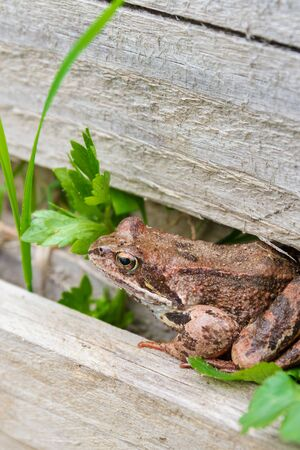 Brown spotted frog walks in the garden in summer Banque d'images