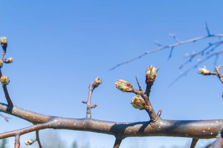 Buds bloom in spring on a pear tree in the garden Banque d'images