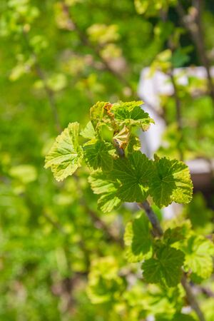 Blackcurrant Bush turns green in the spring in the garden